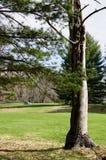 Träd på golfbana Royaltyfri Bild