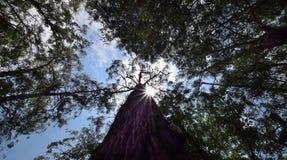 Träd på Ibirapuera Fotografering för Bildbyråer