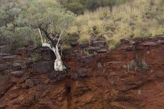 Träd på kanjonkant Royaltyfri Bild