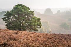 Träd på kullar som täckas med ljung Fotografering för Bildbyråer