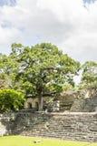 Träd på plats för Maya för Copà ¡ n i Honduras Royaltyfri Fotografi