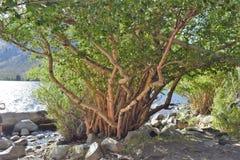 Träd på sjön med vridna filialer royaltyfria foton