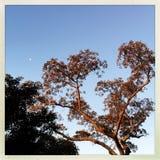 Träd på solnedgången med månen Arkivbilder