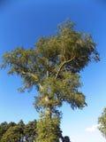 Träd på vägen till nytt Etal, Northumberland, England Royaltyfri Foto