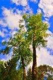 Träd på vänstersidabanken av den Oka floden i Tarusa, Kaluga region, Ryssland Royaltyfria Bilder