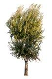 Träd på vit bakgrund royaltyfri fotografi