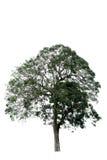 Träd på vit bakgrund, Royaltyfri Bild