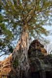 Träd rotar att växa över Angkor Wat Ruins Arkivbild