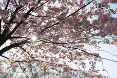 Tr?d Sakura f?r k?rsb?rsr?d blomning med mild bl? himmel i bakgrunden arkivbilder