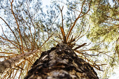 Träd Sikt från jordningen Rysk skog Arkivfoton