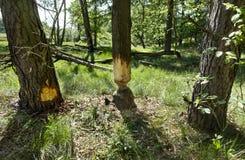 Träd skadlig av bäver arkivfoto