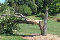 Träd som är brutet vid stormen med den splittrade stammen Royaltyfria Bilder