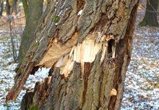 Träd som är brutet vid vind Royaltyfri Bild