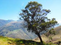Träd som är eregerat på att slutta kullelutningen arkivfoton