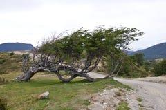 Träd som är nedtryckt vid vind i Argentina royaltyfri foto