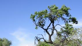 Träd som är rört vid vinden arkivfilmer
