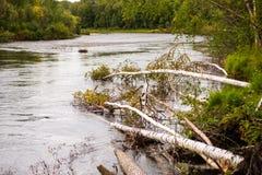 Träd som är stupade in i den Chena floden royaltyfri bild
