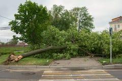 Träd som är stupat på trottoaren Storm i stad Royaltyfria Bilder