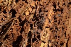 Träd som ätas av skalbaggar Royaltyfri Foto