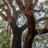 Träd som används för kork Arkivbilder