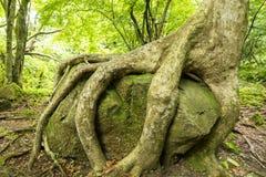 Träd som att gripa en sten royaltyfri bild