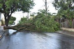 Träd som avverkar efter en storm i stadsområdet gammal trädstam som är stupad i staden royaltyfri foto