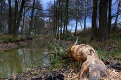 Träd som avverkas av bäver på floden Royaltyfri Fotografi
