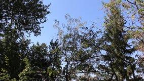 Träd som blåsas av en ljus bris i monteringen Belasitsa stock video