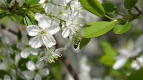 Träd som blommar i den trädgårds- naturen för himmel för biflygfrikänden, fjädrar biet för härliga blommor för sommar som det dju lager videofilmer