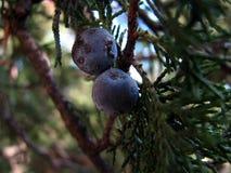 Träd som fokuserar på bär Arkivfoton