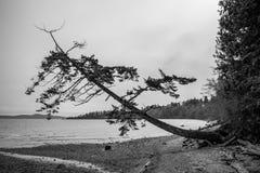 Träd som från sidan växer på kust Arkivfoton