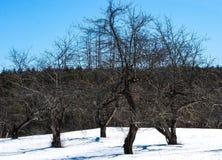 Träd som gör vridningen i ett snöig fält under en djupblå sen vinterdag Arkivfoto