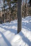 Träd som gjuter blueshadows i den nya snön Royaltyfria Bilder