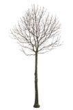 Träd som isoleras med vit bakgrund Fotografering för Bildbyråer