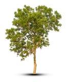 Träd som isoleras på den snabba banan för vit bakgrund Royaltyfria Foton