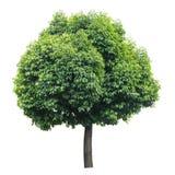 Träd som isoleras på vit Royaltyfri Foto