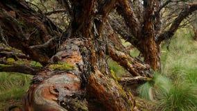 Träd som lokaliseras i heden i den ekologiska reserven Los Ilinizas i Ecuador Gemensamt namn: pappers- träd Arkivbilder