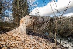 Träd som ner klipps av bäver Royaltyfri Foto