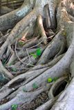 Träd som rotas till jordningen arkivfoton