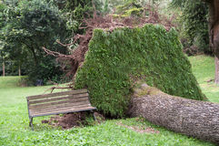 Träd som ryckas upp och som är grymt efter stormen Arkivfoton