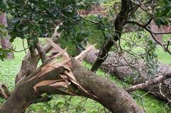 Träd som ryckas upp och som är grymt efter stormen Royaltyfri Bild