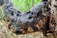 Träd som ser som en noshörning Arkivbild