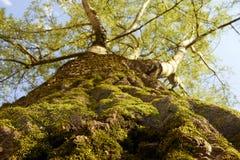 Träd som ser upp Royaltyfria Bilder
