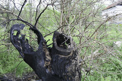 Träd som slås av blixt Royaltyfri Bild