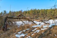 Träd som slås av blixt Fotografering för Bildbyråer