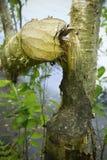 Träd som snidas av en bäver med tandfläckar, Hebron, Connecticut Fotografering för Bildbyråer
