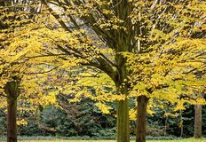 Träd som täckas av en tjock buske av sidor med intensiv höst, färgar royaltyfri bild