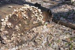 Träd som täckas med champinjoner I skogen ligger ett gammalt torrt träd som täckas med champinjoner royaltyfri foto