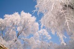 Träd som täckas med glasyr Arkivfoton