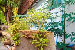 Träd som växer från klippta träd Royaltyfri Foto